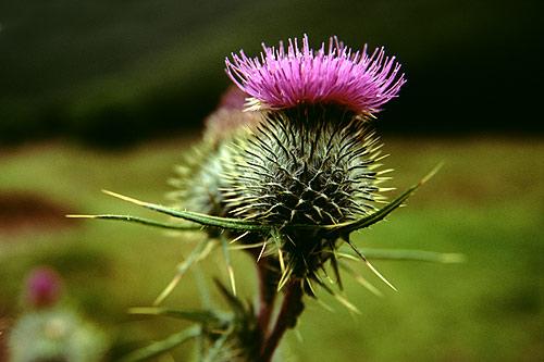 Perché il Cardo è simbolo della Scozia? La leggenda narra…