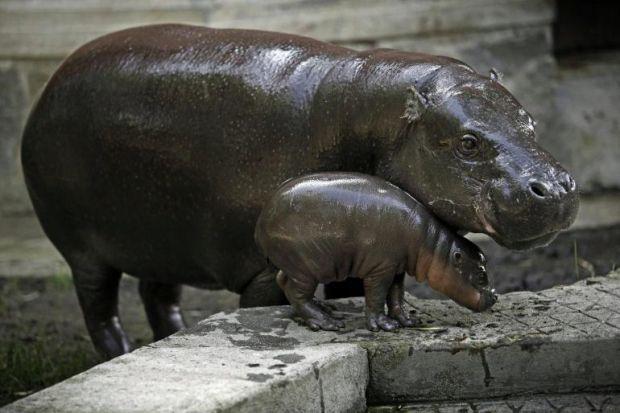 Zoo di Edimburgo: nato ippopotamo in via di estinzione