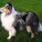 I cani scozzesi