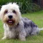 collection-of-Dandie-Dinmont-Terrier-puppy